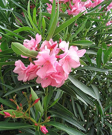 Oleander bewildered greeny for Le plant